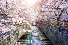 Cherry blossom lined Meguro Canal in Tokyo, Japan. Springtime in