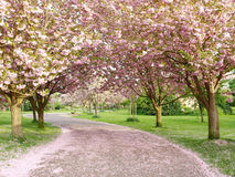 Cherry Blossom Lined Path. Spring Time View of a Path Lined With Cherry Trees in Blossom Stock Photos