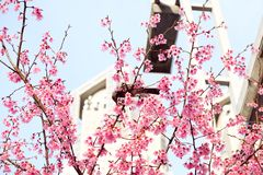 Cherry Blossom with a little bird royalty free stock photo