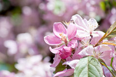 Cherry Blossom.Macro Royalty Free Stock Images