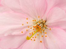 Cherry blossom macro Stock Photography