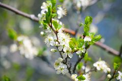 Cherry blossom macro photo. Cherry blossom macro, branch with white flowers, closeup photo with soft selective focus royalty free stock image