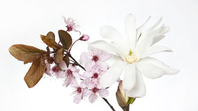 Cherry blossom and magnolia flower. Close up of pink cherry blossom and white magnolia flower Royalty Free Stock Photography