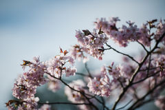 Cherry Blossom med den mjuka fokusen, Sakura säsong i Moskva, bakgrund Arkivbilder