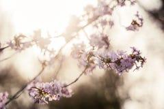 Cherry Blossom med den mjuka fokusen, Sakura säsong i Moskva, bakgrund Royaltyfri Bild