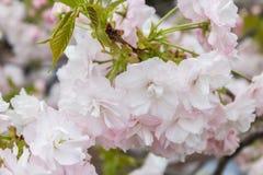 Cherry Blossom met aardachtergrond, Sakura-seizoen Stock Foto