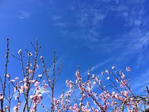 Cherry Blossom met blauwe hemel royalty-vrije stock fotografie