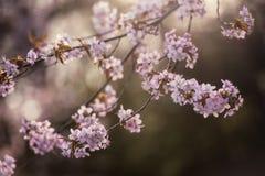 Cherry Blossom met Zachte nadruk, Sakura-seizoen in Moskou, Achtergrond Royalty-vrije Stock Foto's