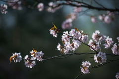 Cherry Blossom met Zachte nadruk, Sakura-seizoen in Moskou, Achtergrond Stock Fotografie