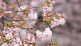 Cherry Blossom mit Naturhintergrund stock footage