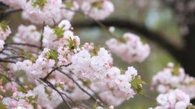 Cherry Blossom mit Naturhintergrund, Kirschblüte-Jahreszeit stock video footage