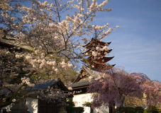 Cherry blossom, Miyajima, Japan Stock Photos