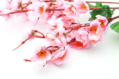 Cherry blossom model Stock Images