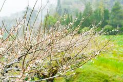 Cherry Blossom in the morning, Blooming Pink Japanese Sakura Stock Photo