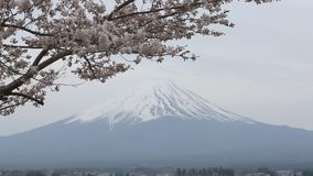 Cherry blossom with Mount fuji at Lake kawaguchiko. stock video