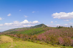 Cherry Blossom on the mountain in Thailand Royalty Free Stock Image