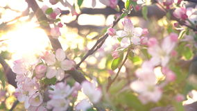 Cherry Blossom Moved By The Wind Close Up Footage. White Cherry Blossom Moved By The Slight Wind Close Up Footage Shot In Sunny Day In Spring stock video footage