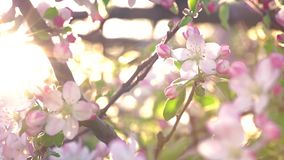 Cherry Blossom Moved By The Wind Close Up Footage. White Cherry Blossom Moved By The Slight Wind Close Up Footage Shot In Sunny Day In Spring stock footage