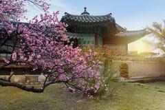Cherry Blossom na mola no palácio de Changdeokgung, Imagens de Stock Royalty Free