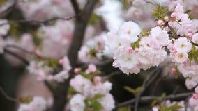 Cherry Blossom with nature background, Sakura season. stock video footage