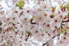 Cherry Blossom with nature background, Sakura season. Royalty Free Stock Photos