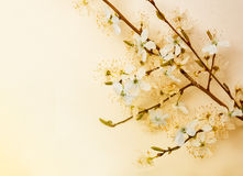 Cherry Blossom , Nature and Spring time background. Stock Images