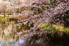 cherry blossom near lake, Hokkaido Royalty Free Stock Photo