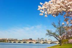 Cherry blossom near Potomac River in Washington DC. Royalty Free Stock Photography