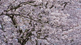 Cherry blossom near street with cars stock video footage