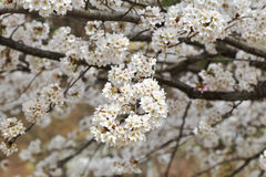 Cherry Blossom Nearby blanc le lac de Kawakuchi-knock-out, Japon Image libre de droits