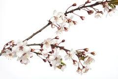 Cherry Blossom-Niederlassung Lizenzfreies Stockfoto