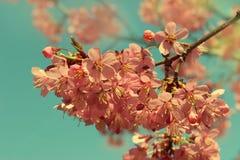 Cherry Blossom-Niederlassung Stockfotos