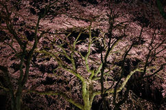 Cherry blossom, night view. Kyoto Japan. Stock Photography