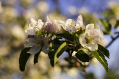 Cherry Blossom. Blossom no the cherry tree in spring time Stock Photography