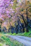 Cherry Blossom o Sakura Foto de archivo