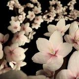 Cherry Blossom o Sakura rosa sul nero Fotografia Stock Libera da Diritti