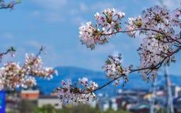 Cherry Blossom och berg arkivfoto