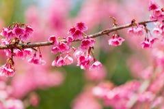 Cherry Blossom och Sakura royaltyfri bild