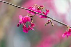 Cherry Blossom och Sakura fotografering för bildbyråer