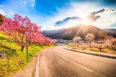 Cherry Blossom och sakura på vägen Arkivbilder
