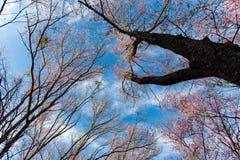 Cherry Blossom och Sakura royaltyfri fotografi