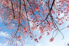 Cherry Blossom och Sakura arkivfoto