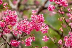 Cherry Blossom och Sakura tapet fotografering för bildbyråer