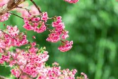 Cherry Blossom och Sakura tapet arkivbild