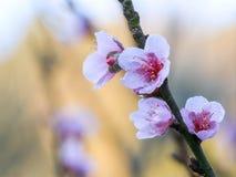 Cherry Blossom oder Kirschblüte blüht bei Khun Chang Kian, Chiangmai, Thailand lizenzfreies stockbild