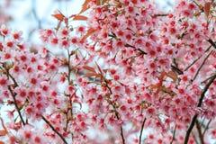 Cherry Blossom oder Kirschblüte blüht bei Khun Chang Kian, Chiangmai, Thailand lizenzfreie stockfotos