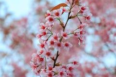 Cherry Blossom oder Kirschblüte blüht bei Khun Chang Kian, Chiangmai, Thailand stockfoto