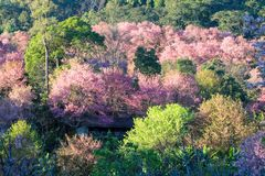 Cherry Blossom oder Kirschblüte blüht bei Khun Chang Kian, Chiangmai, Thailand stockfotos