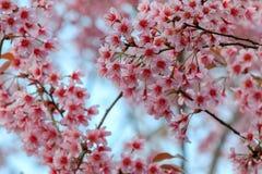 Cherry Blossom oder Kirschblüte blüht bei Khun Chang Kian, Chiangmai, Thailand lizenzfreies stockfoto