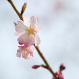Cherry Blossom. One Sakura Pink Flower on Branch Stock Image